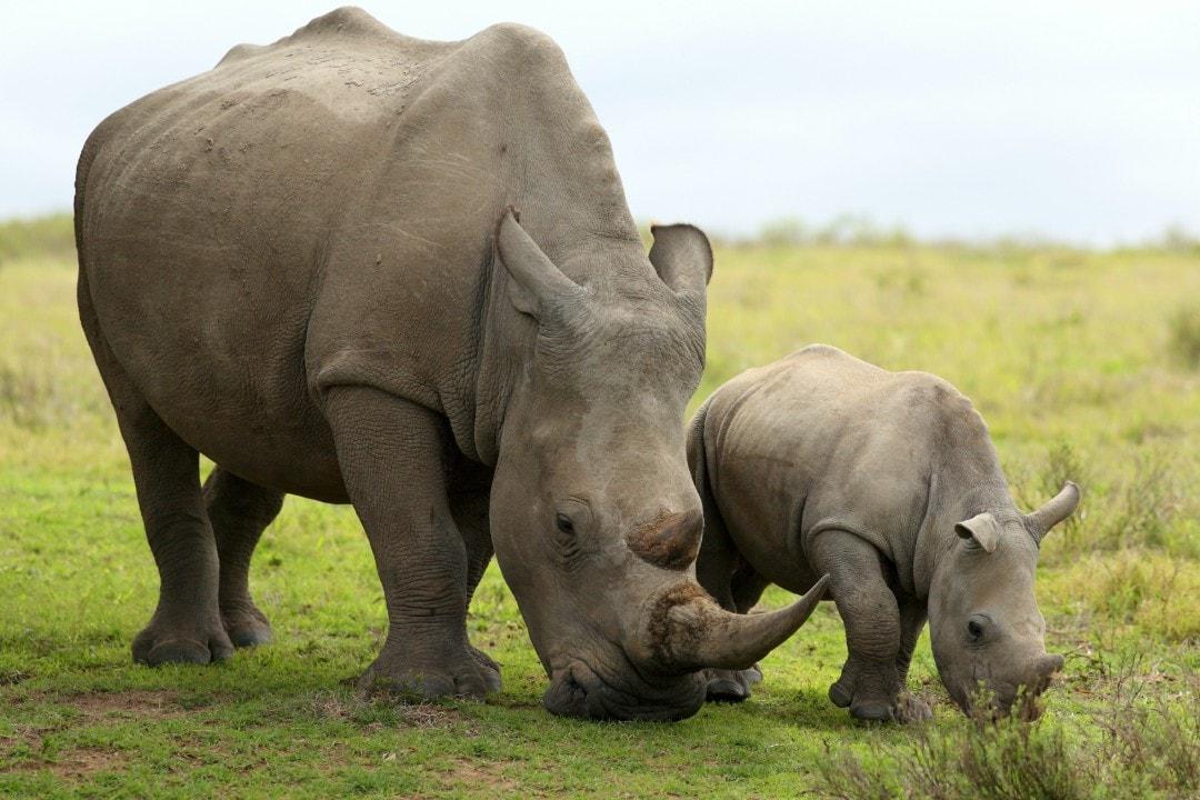 rhino conservation Australia